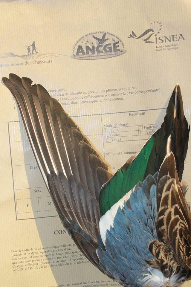 Collete d'ailes des canards par l'ANCGE / INSEA et FNC - Ici une sarcelle d'hiver