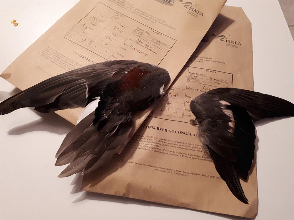 La lecture des ailes d'anatidés et de vanneau huppé en France.