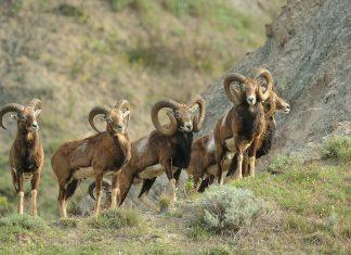 Le mouflon de corse officiellement protégé