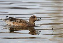 Des données intéressantes sur le canard siffleur grâce à l'ISNEA