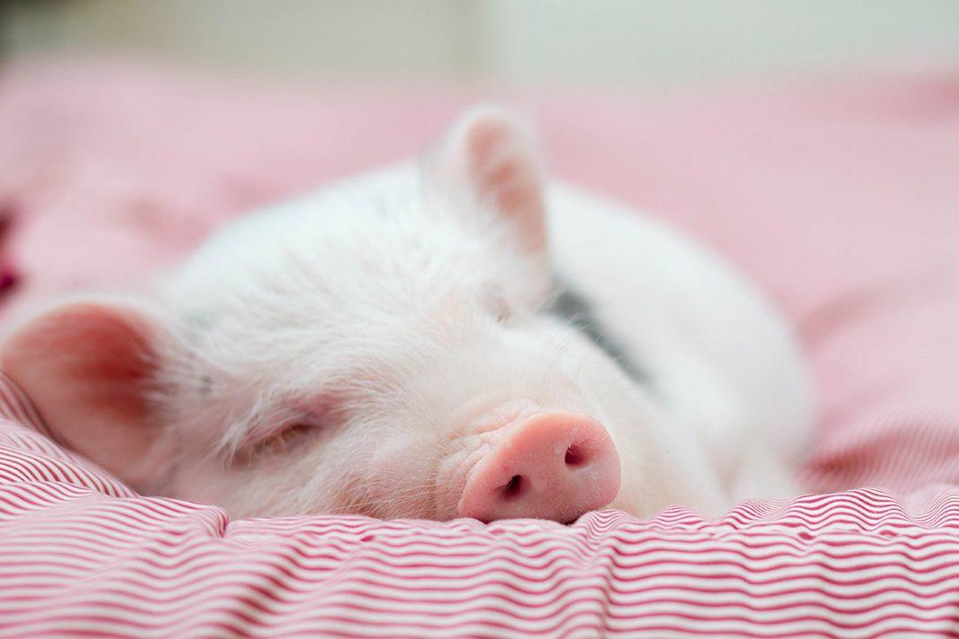 Un cochon sauvé de l'abattoir, fini finalement en pâté