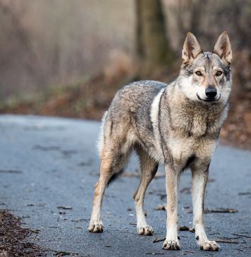 Un loup percuté sur l'autoroute A8