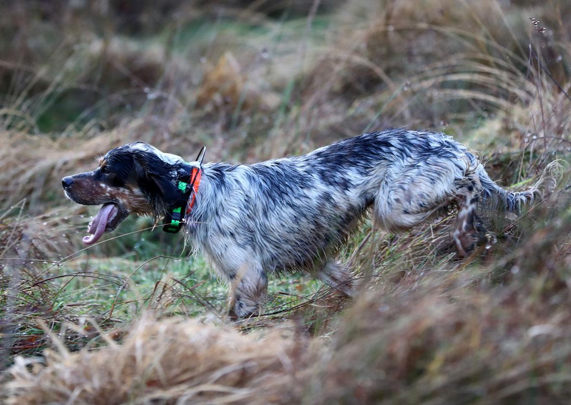 Un chien de chasse équipé du nouveau collier Garmin Pro 550 plus