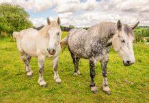 Une Anglaise porte plainte contre l'odeur des chevaux de son voisin
