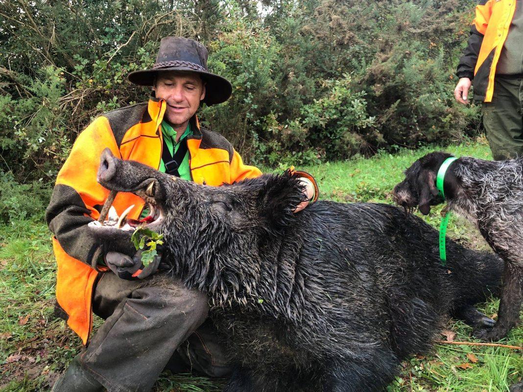 Récit : un sanglier de 213 kilos prélevé en Loire-Atlantique
