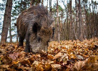 Le sanglier, dernier rempart de la chasse française ?
