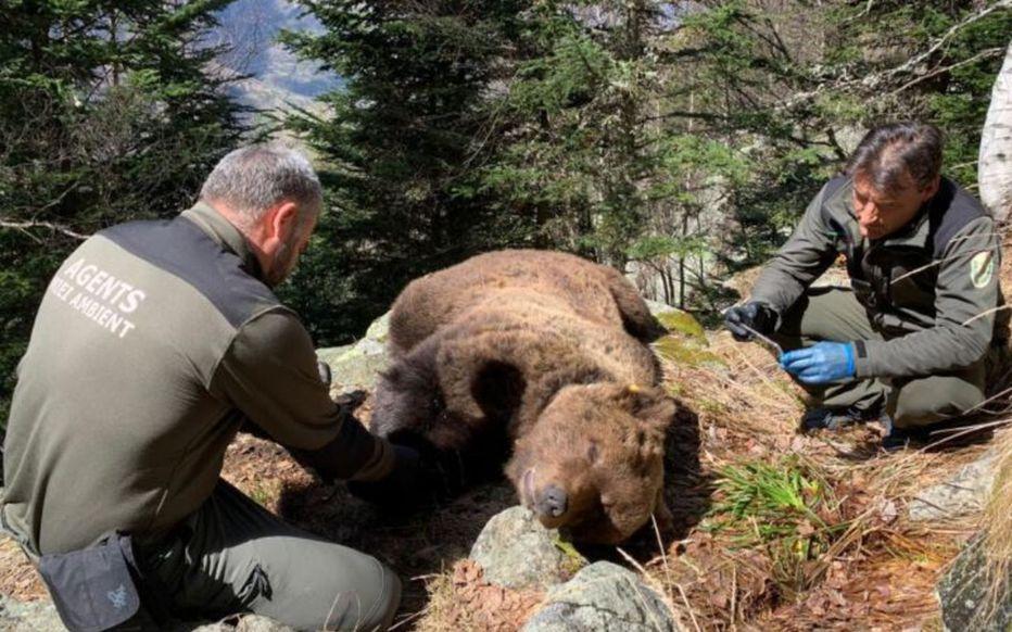 L'ours Cachou a été empoisonné par un garde espagnol censé le protéger