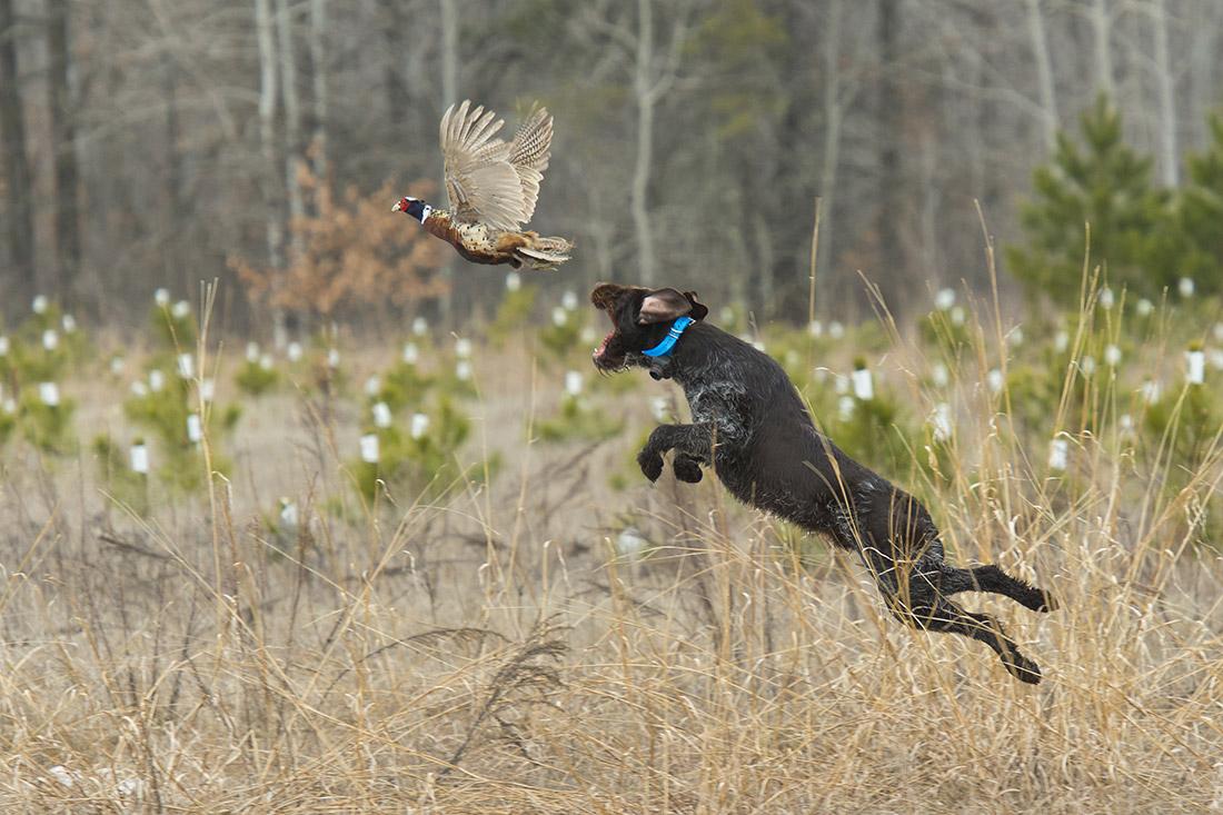 Assurance pour chien de chasse