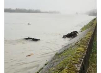 Vidéo Sanglier qui traversent la Seine à la nage
