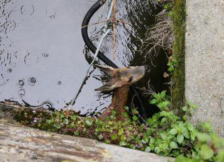 chevreuil coincé dans la Risle